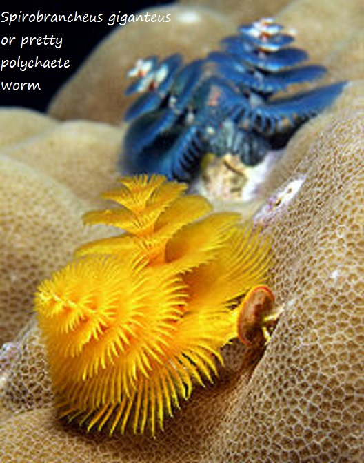 Spirobrancheus_giganteus or pretty polychaete worm
