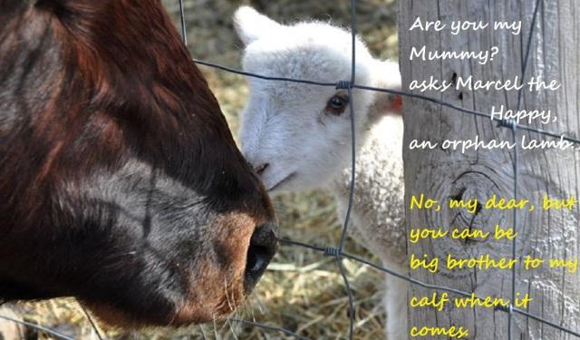 cow lamb love affair   alternative haiga