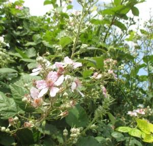blackberries on the way