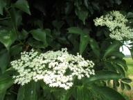 elderflower cordial on the way