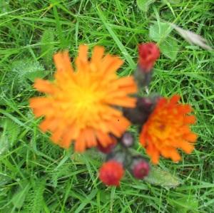 fox and cubs or orange hawkweed