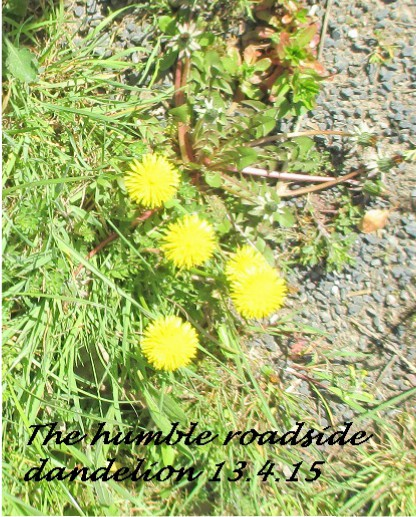 13.4.15 the humble roadside dandelion