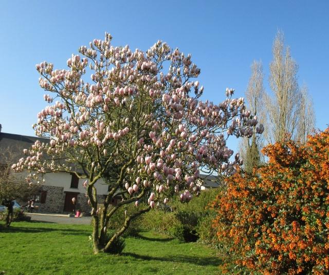 6.4.15 next door's magnolia