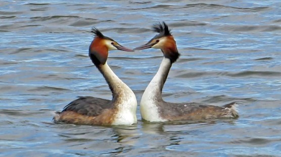 duet of the grebes