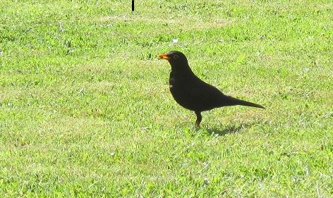 my friend the blackbird