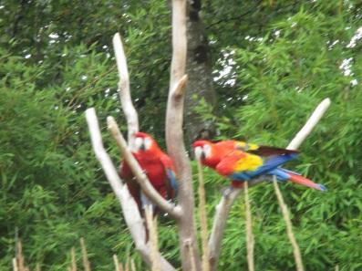 Parrots (2)