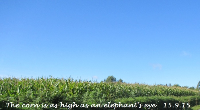 The corn is as high as an elephat's eye 15.9.15