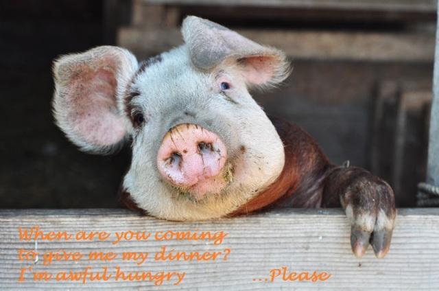 Celie's pig's wistful conversation piece HAIGA