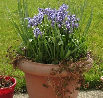 hyacinths 4.4.16