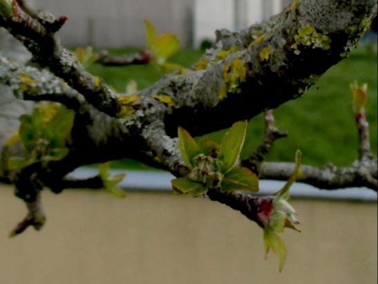incipient apple blossom 30.4.16