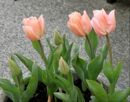 tulips 4.4.16