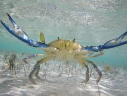 IMGP0947 ((c) Fraser Hutt) blue crab