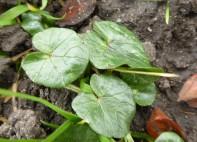 Lesser Celandine Leaves (Ficaria verna)